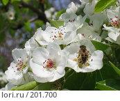 Купить «Пчела на цветущей груше», фото № 201700, снято 30 апреля 2005 г. (c) Игорь Струков / Фотобанк Лори