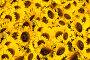 Желтые подсолнухи, фото № 202100, снято 5 августа 2007 г. (c) chaoss / Фотобанк Лори