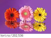 Купить «Три герберы на сиреневом фоне», фото № 202536, снято 27 ноября 2006 г. (c) Григорий Сухарев / Фотобанк Лори