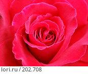 Роза. Стоковое фото, фотограф Александр Федосов / Фотобанк Лори