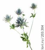 Купить «Eryngium, синеголовник, изолированное изображение», фото № 203304, снято 16 февраля 2008 г. (c) Tamara Kulikova / Фотобанк Лори