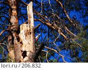 Купить «Пестрый дятел», эксклюзивное фото № 206832, снято 28 сентября 2007 г. (c) Александр Щепин / Фотобанк Лори