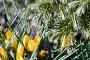 Желтые крокусы около сосны, фото № 209280, снято 1 апреля 2007 г. (c) Сергей Байков / Фотобанк Лори