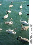 Купить «Лебеди двух видов шипун и кликун - зимуют на Черном море в Суджукской бухте», фото № 212720, снято 28 февраля 2008 г. (c) Федор Королевский / Фотобанк Лори