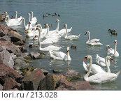 Стая белых лебедей. Стоковое фото, фотограф Мария Коробкина / Фотобанк Лори