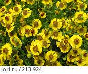 Купить «Много желтых цветов в саду», фото № 213924, снято 15 августа 2007 г. (c) Dmitriy Andrushchenko / Фотобанк Лори