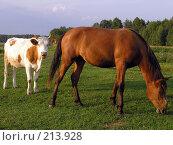 Купить «Корова с конем», фото № 213928, снято 18 августа 2007 г. (c) Dmitriy Andrushchenko / Фотобанк Лори