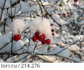 Купить «Калина в снегу», фото № 214276, снято 19 сентября 2018 г. (c) Игорь Струков / Фотобанк Лори