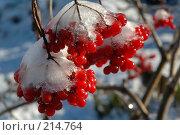 Купить «Ягоды калины в морозный день», фото № 214764, снято 29 октября 2005 г. (c) Ольга Дроздова / Фотобанк Лори