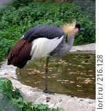 Купить «Венценосный журавль около водоёма», фото № 216128, снято 29 мая 2005 г. (c) Филин Константин / Фотобанк Лори