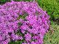 Розовые цветы — Лобелия каскадная (лат. Lobelia erinus), фото № 216904, снято 24 октября 2016 г. (c) ElenArt / Фотобанк Лори