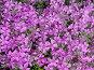 Цветочный фон. Лобелия каскадная (лат. Lobelia erinus), фото № 218104, снято 30 марта 2017 г. (c) ElenArt / Фотобанк Лори