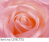 Купить «Розовая роза», фото № 218772, снято 17 октября 2019 г. (c) ElenArt / Фотобанк Лори