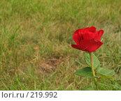 Купить «Красная роза на фоне зеленой травы», фото № 219992, снято 19 августа 2007 г. (c) Ольга Хорькова / Фотобанк Лори