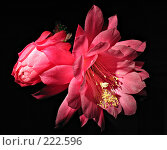 Купить «Цветок кактуса», фото № 222596, снято 23 мая 2005 г. (c) Илья Троицкий / Фотобанк Лори