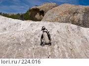 Купить «Африканский пингвин на прогулке», фото № 224016, снято 2 февраля 2008 г. (c) Артем Абрамян / Фотобанк Лори