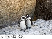 Купить «Семья африканских пингвинов», фото № 224024, снято 2 февраля 2008 г. (c) Артем Абрамян / Фотобанк Лори