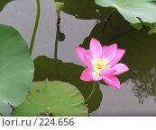 Купить «Лотос. Сучжоу. Китай», фото № 224656, снято 8 сентября 2007 г. (c) Екатерина Овсянникова / Фотобанк Лори