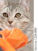 Купить «Взгляд серой кошки и оранжевая роза», фото № 224880, снято 28 января 2008 г. (c) Останина Екатерина / Фотобанк Лори