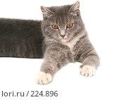 Купить «Взгляд маленького серого котенка», фото № 224896, снято 22 февраля 2008 г. (c) Останина Екатерина / Фотобанк Лори