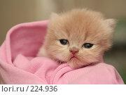 Купить «Взгляд маленького симпатичного пушистого котенка», фото № 224936, снято 4 марта 2008 г. (c) Останина Екатерина / Фотобанк Лори