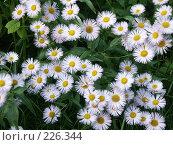 Купить «Цветы, похожие на ромашки», фото № 226344, снято 17 июля 2006 г. (c) VPutnik / Фотобанк Лори