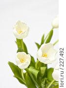 Купить «Букет белых тюльпанов», фото № 227492, снято 8 марта 2008 г. (c) Ольга Хорькова / Фотобанк Лори