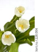 Купить «Букет белых тюльпанов», фото № 228004, снято 8 марта 2008 г. (c) Ольга Хорькова / Фотобанк Лори