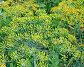 Цветущий укроп, фото № 228160, снято 22 июня 2007 г. (c) Андрей Зык / Фотобанк Лори