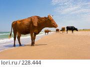 Загорающие коровы. Стоковое фото, фотограф Кравецкий Геннадий / Фотобанк Лори