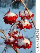 Купить «Гроздья калины под снегом», фото № 228592, снято 27 октября 2005 г. (c) Ольга Дроздова / Фотобанк Лори