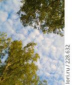 Купить «Верхушки деревьев», фото № 228632, снято 30 июня 2007 г. (c) Liseykina / Фотобанк Лори