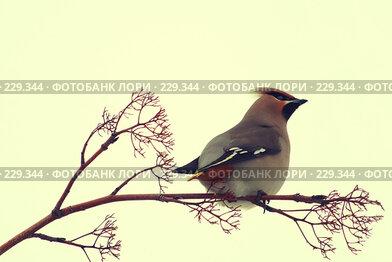 Купить «Свиристель», эксклюзивное фото № 229344, снято 16 марта 2008 г. (c) Juliya Shumskaya / Blue Bear Studio / Фотобанк Лори