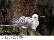Купить «Филин и сова», фото № 230064, снято 10 февраля 2008 г. (c) Карасева Екатерина Олеговна / Фотобанк Лори