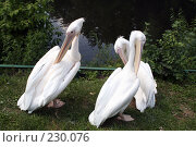 Купить «Три пеликана», фото № 230076, снято 11 июля 2007 г. (c) Карасева Екатерина Олеговна / Фотобанк Лори