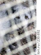Купить «Песец в клетке», фото № 230692, снято 6 ноября 2007 г. (c) Алексей Тишкин / Фотобанк Лори