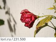 Купить «Увядший цветок», фото № 231500, снято 20 февраля 2008 г. (c) Андрей Ильинский / Фотобанк Лори