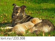 Купить «Собака и щенок», фото № 233308, снято 27 сентября 2006 г. (c) Синицын Андрей / Фотобанк Лори