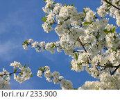 Купить «Цветущая вишня на фоне неба», фото № 233900, снято 26 апреля 2005 г. (c) Игорь Струков / Фотобанк Лори