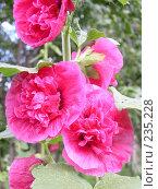 Купить «Розовые цветы», фото № 235228, снято 16 августа 2018 г. (c) griFFon / Фотобанк Лори