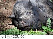 Купить «Свинья», фото № 235400, снято 20 июня 2007 г. (c) Нестерова Анна / Фотобанк Лори