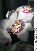 Купить «Белая орхидея на темном фоне», фото № 235760, снято 15 октября 2018 г. (c) Светлана Кучинская / Фотобанк Лори