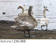 Купить «Лебеди у реки», фото № 236488, снято 17 марта 2008 г. (c) Юлия Селезнева / Фотобанк Лори
