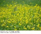 Купить «Желтые полевые цветы», фото № 236616, снято 11 июня 2007 г. (c) Ольга Хорькова / Фотобанк Лори