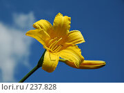Купить «Одиночный цветок желтого лилейника видового на фоне неба», фото № 237828, снято 11 июня 2005 г. (c) Ольга Дроздова / Фотобанк Лори