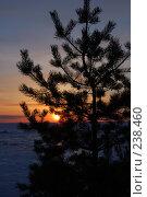 Сосна на фоне заката. Стоковое фото, фотограф Шемякин Евгений / Фотобанк Лори