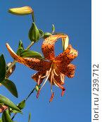 Купить «Тигровая лилия», фото № 239712, снято 25 июля 2007 г. (c) ikheid / Фотобанк Лори