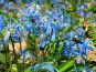 Пролеска сибирская (Scilla Sibirica) в весеннем лесу, фото № 242036, снято 3 апреля 2008 г. (c) Петрова Ольга / Фотобанк Лори