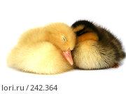 Купить «Две маленькие утки вместе на белом фоне», фото № 242364, снято 24 мая 2007 г. (c) Останина Екатерина / Фотобанк Лори