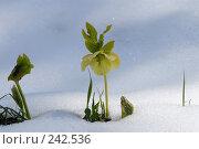 Купить «Цветок морозник, пробившийся сквозь снег», фото № 242536, снято 19 сентября 2018 г. (c) Виктор Филиппович Погонцев / Фотобанк Лори